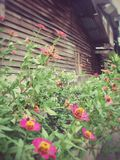 Zinnia bush next to the wooden house Stock Images