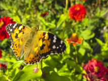 Zinnia and butterfly in garden Stock Image