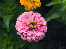 Pink zinnia flower in full bloom Stock Images