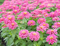 Zinnia color pink Stock Photography