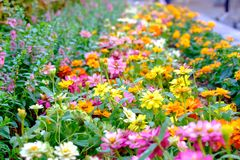 Zinnia colorful ornamental plant them in the garden. S Royalty Free Stock Images