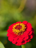 Zinnia commun Photo libre de droits