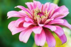 Zinnia cor-de-rosa imagem de stock