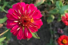 Zinnia cor-de-rosa Imagem de Stock Royalty Free