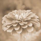Zinnia da flor do Sepia fotos de stock