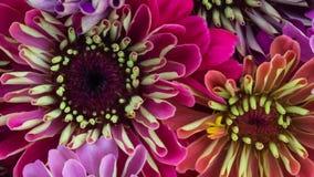 Zinnia Daisy Flowers Blooming almacen de video