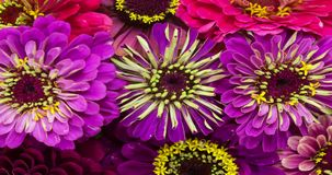 Zinnia Daisy Flowers Blooming metrajes
