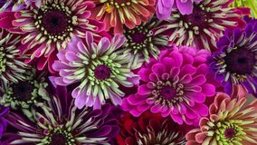 Zinnia Daisy Flowers Blooming