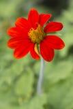 Zinnia de fleur Image stock