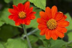 Zinnia de fleur Image libre de droits
