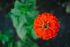 Zinnia de fleur Photos stock