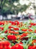 Zinnia de la flor Imagen de archivo libre de regalías