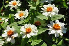 Zinnia de Narrowleaf (angustifolia de Zinnia) Images libres de droits
