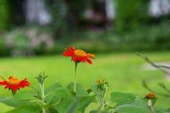 Zinnia in de tuin Stock Foto's