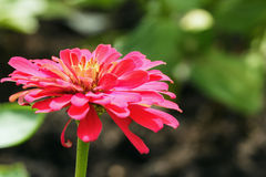 Zinnia dentellare Immagine Stock