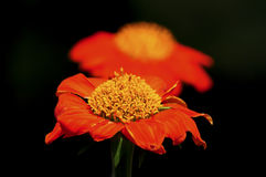 Zinnia elegan flowers Stock Photography