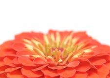 Zinnia elegans Royalty Free Stock Image