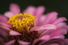 Zinnia elegans Στοκ φωτογραφίες με δικαίωμα ελεύθερης χρήσης