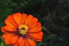 Zinnia elegans fotografia stock libera da diritti
