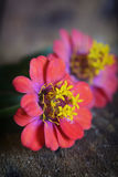 Zinnia elegans Royalty Free Stock Photography