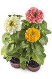 Zinnia Elegans. Beautiful white, yellow and pink zinnia fowerheads, Zinnia Elegans, in flower pot with green leaves. Close up view of zinnia flowers royalty free stock image