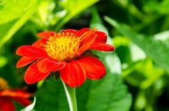 Zinnia Elegans-Blumen Lizenzfreie Stockfotografie