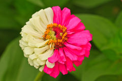 Zinnia elegans Royalty Free Stock Images