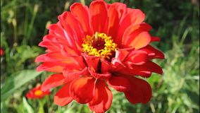 Zinnia elegans stock video