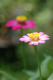 Zinnia elegans in field Stock Images