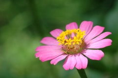Zinnia elegans in field Stock Image