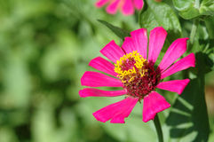 Zinnia elegans in field Royalty Free Stock Photo