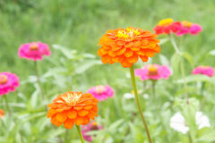 Zinnia elegans in field Stock Photography