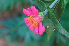 Zinnia elegans in field Stock Photos