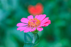 Zinnia elegans in field Royalty Free Stock Image