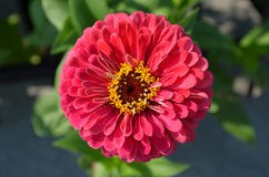 Zinnia elegans flower Royalty Free Stock Photo