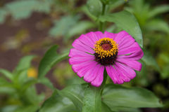 Zinnia elegans. Flower royalty free stock images