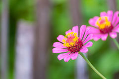 Zinnia elegans flower blooming in the garden for background. Stock Images