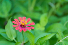 Zinnia elegans flower blooming in the garden for background. Royalty Free Stock Image