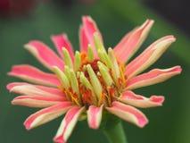 Zinnia Elegans Flower Blossom On Green Leaves Background Stock Image