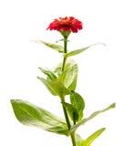 Zinnia elegans flower Royalty Free Stock Photos