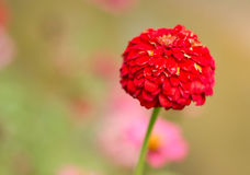 Zinnia elegans. Flower live in thailand Royalty Free Stock Image