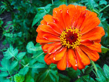 Zinnia elegans flower Royalty Free Stock Image