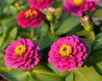 Zinnia elegans flowers Royalty Free Stock Image
