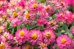 Zinnia elegans flowers Stock Photos