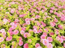 Zinnia Elegans Flowers Στοκ εικόνα με δικαίωμα ελεύθερης χρήσης