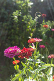 Zinnia Elegans Flowers Royalty-vrije Stock Foto