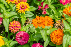 Zinnia Elegans Flowers Stock Photography