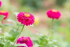 Zinnia elegans flowers Royalty Free Stock Photography