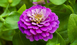Zinnia elegans jacq. A beautiful pink zinnia elegans jacq Stock Photography