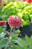 Zinnia elegans Queen Red Lime. Photo of Queen Red Lime Zinnia with copy space Royalty Free Stock Photography